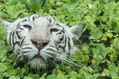 picture of tigers-eye  - White blue eyed  Female Tiger Swimming In Pond in zoo - JPG