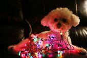 Dog with Christmas Lights. Bichon Frise Dog with colorful mini Christmas lights. Focus on the lights poster