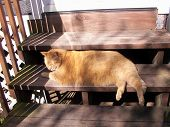 Large Golden Cat on Wooden Steps