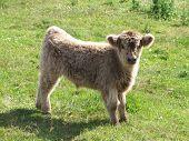 Highland Cow Calf A