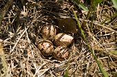 picture of killdeer  - Four Killdeer eggs hidden in the grass - JPG