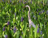 Heron In The Pickerel