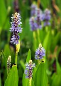 Pickerel Weed Patch