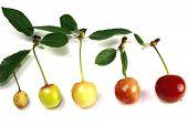 cherry grow on white background