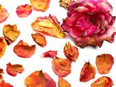 dry rose background