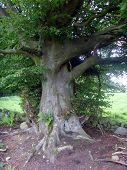 Old Scottish Beech Tree