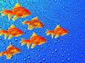 Gold fishes shoal