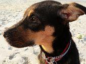 Puppy Gazing On Beach