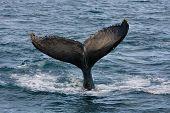 Humpback jubarte Whale of abrolhos islands in bahia state brazil