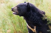 black bear roaring in nature