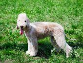 Bedlington Terrier Standing