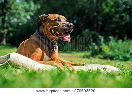 poster of Ridgeback Dog Lying On The Lawn And Sticks Out Its Tongue. Happy Dog Concept. Dog Enjoyig The Sun Ou