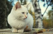 Alone Red Point Blue Eyes Kitten Lost Outdoors poster