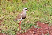 Crowned Lapwing bird, crowned plover in brown with black halo crown standing at Lake Manyara in Tanz poster
