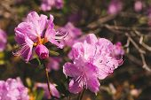 Beautiful Pink Ledum Blooming Close Up. Big Flower Of Rhododendron Ledebourii. Plant From Family Aza poster
