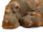 Hippopotamus pair in love