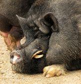 stock photo of pot bellied pig  - Potbellied Vietnamese pig hog - JPG