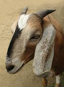 stock photo of anglo-nubian  - Goat with long ears - JPG