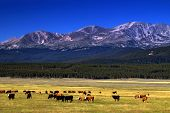 stock photo of rocky-mountains  - Cattle graze as the high peaks of the Colorado Rockies show in the background photographed in the Arkansas River Valley - JPG