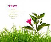Flor de hibisco com folhas verdes e grama verde fresco Primavera isolado no fundo branco.