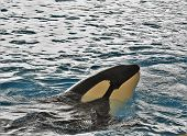 Killer Whale Black White Emerges From Blue Water poster