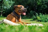 Ridgeback Dog Lying On The Lawn And Sticks Out Its Tongue. Happy Dog Concept. Dog Enjoyig The Sun Ou poster