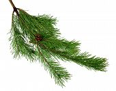 Pine Branches With Cones. Isolated On White Without Shadow. Close-up. Green Branches Of Pine. Christ poster