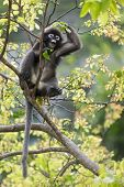 dusky leaf monkey sitting on tree branch, thailand