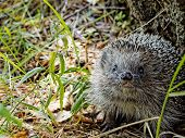 To Meet Face To Face With A Hedgehog In The Forest. European Hedgehog (erinaceus Europaeus), Also Kn poster