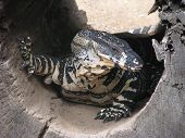 stock photo of goanna  - A lace monitor in a hollow log - JPG