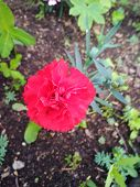 Single Blooming Carnation Bloom, Blossom, Bright, Closeup, Color, Colorful, poster