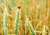 golden wheat and ladybug