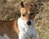 Tommie, A Cheerful Jack Russel Terrier