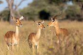 Impala Antelope Family (aepyceros Melampus) Caprivi Strip Game Park, Nambwa Namibia, Africa Safari W poster