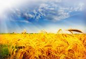 wheat fielf