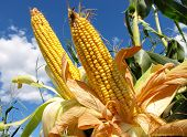 stock photo of biodiesel  - Corn field - JPG