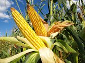 picture of biodiesel  - Corn field - JPG