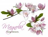 Magnolia Branch And Bouquet Isolated Spring Flower Blossom Vector Illustration Set. Pink Blooming Tr poster