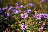 New York Aster. Flowers Asters Grow In A City Park. Bushes Asters In Autumn. Purple Bushes Of Flower poster