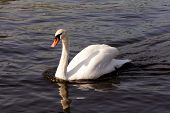 Swan Gliding Through The Water