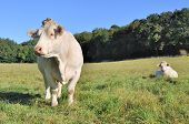 stock photo of charolais  - peaceful Charolais cows in a green meadow - JPG