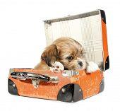 Pekingese puppy dog in suitcase
