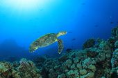 Hawksbill Sea Turtle on coral reef in Red Sea