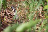 stock photo of garden snake  - Grass snake  - JPG