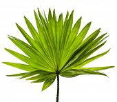 single green palm leaf (Livistona Rotundifolia palm tree) isolated