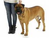image of bull-mastiff  - woman with big dog  - JPG