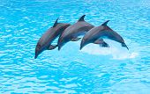 picture of bottlenose dolphin  - Three Bottlenose Dolphins - JPG