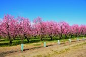 Pink spring flowers blossoming tree on farm