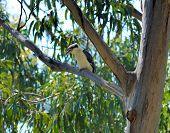 picture of kookaburra  - Australian Laughing Kookaburra - JPG