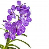 Постер, плакат: Голубая орхидея Ванда sansai синий изолированные на белом